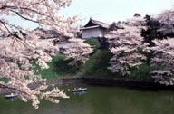 Sakura Cherry Blossoms near Imperial Palace